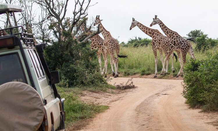 Savannah Parks Re-Open in Uganda