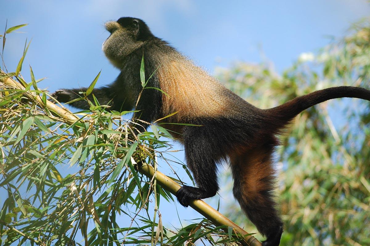11 Days Uganda Rwanda Primate safari