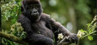 4 Days Uganda Gorilla Trekking and Mount Sabinyo hiking safaris