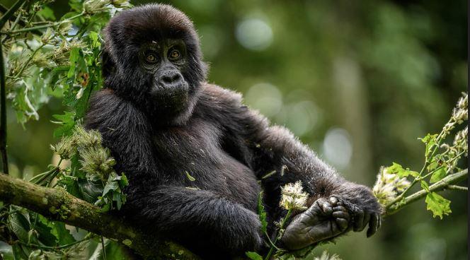 4 Days Uganda Gorilla Trekking and Mount Sabinyo hiking safaris