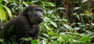 5 Days Eastern Lowland Gorilla Trekking & Nyiragongo hiking safari