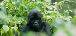 6 Days Fly-in Uganda Gorilla trekking safari