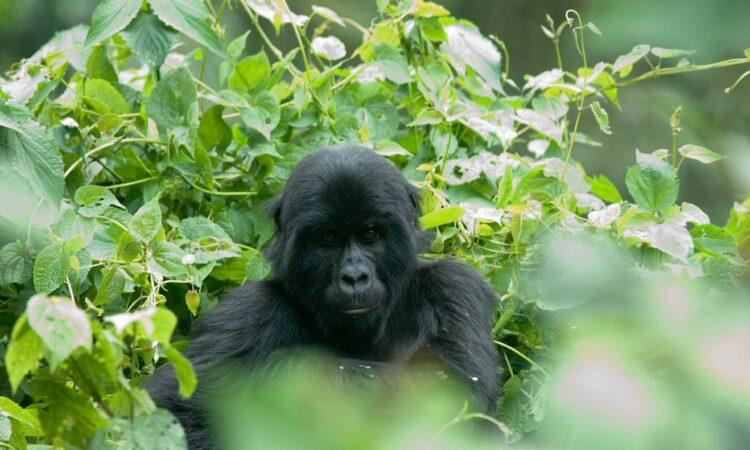 6 Days Fly-in Uganda Gorilla trekking safari