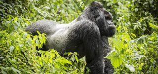 7 Days Congo Gorilla trekking and Nyiragongo safari