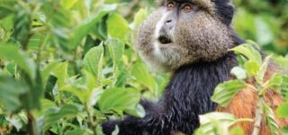 7 Days Rwanda Primates and Dian Fossey hiking safari