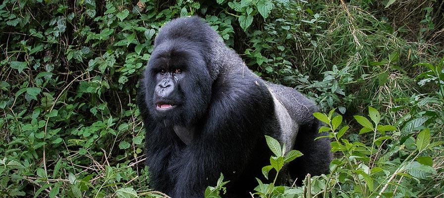 7 days Uganda Rwanda Primate and Wildlife safari