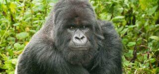 6 days Congo Gorilla trekking and Nyiragongo hiking safari
