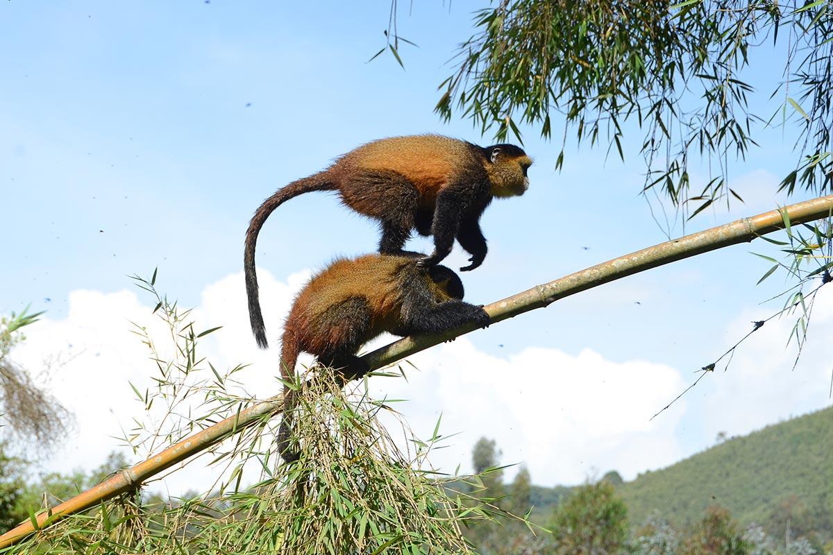 12 Days Best of Uganda Rwanda Gorilla trekking & Wildlife safaris