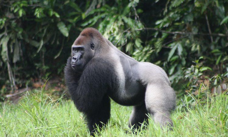 Gorilla trekking in Uganda, Rwanda and Congo