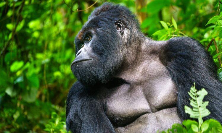 5 Days Virunga Gorilla Trekking and Akagera Wildlife safari