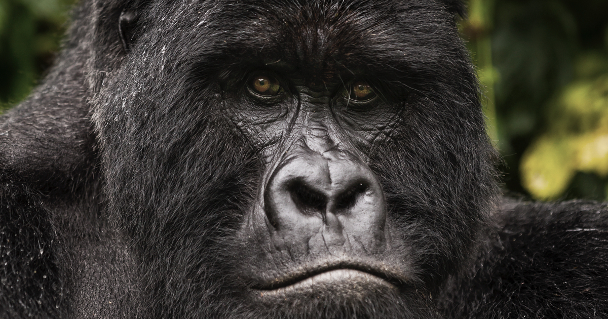 5 Days Congo Rwanda Primates Safari (Virunga Gorilla & Volcanoes Golden monkey trekking safari)