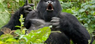 4 Days Rwanda Gorilla trekking and Mount Karisimbi hiking safari