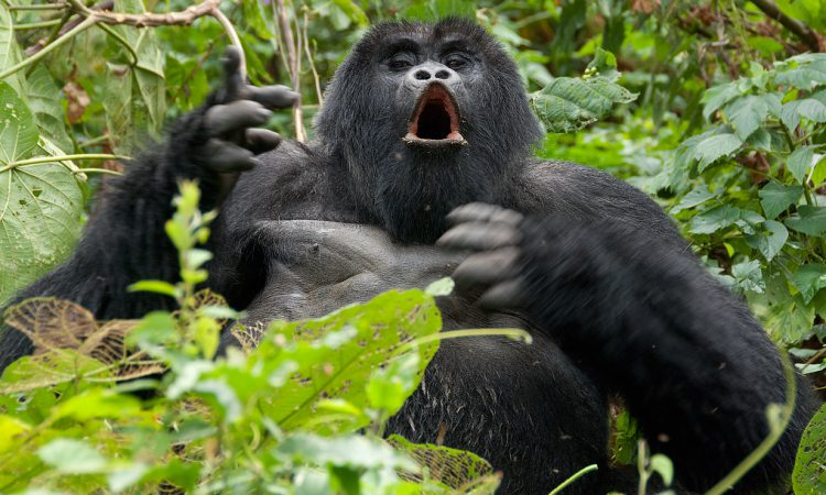 4 Days Rwanda Gorilla trekking and Mount Karisimbi hiking safari