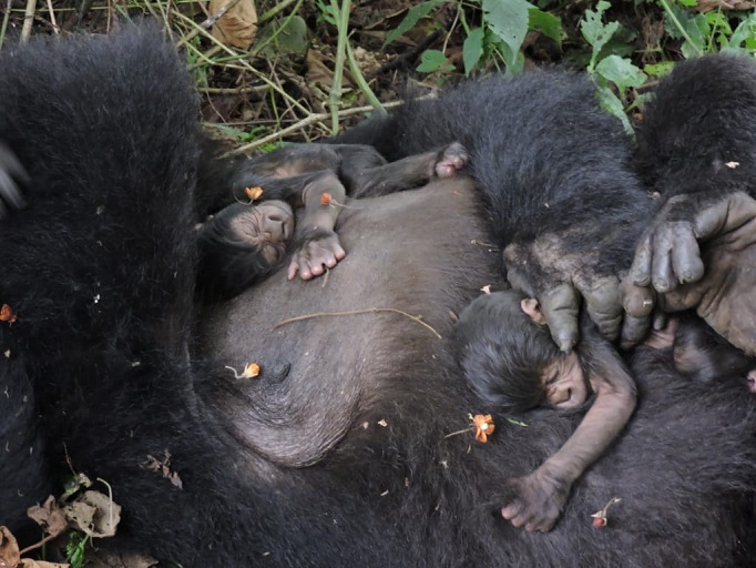 New Twin Gorillas Born in Virunga National Park
