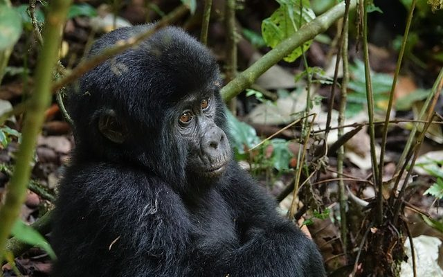 7 Days Bwindi Gorilla Trekking & Queen Elizabeth Wildlife Safari