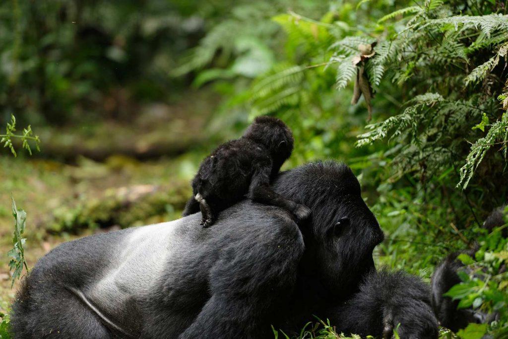 4 Days Uganda Gorillas and Golden monkey trekking safari