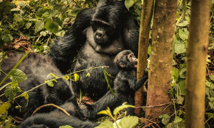 Gorilla Baby Boom in Bwindi Impenetrable Forest