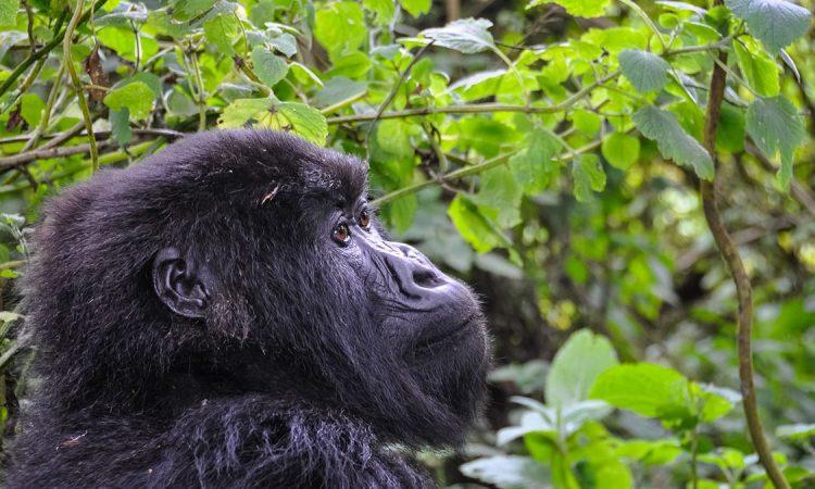Discounted Uganda Gorilla Permits