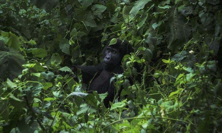 Ways to protect Mountain Gorillas