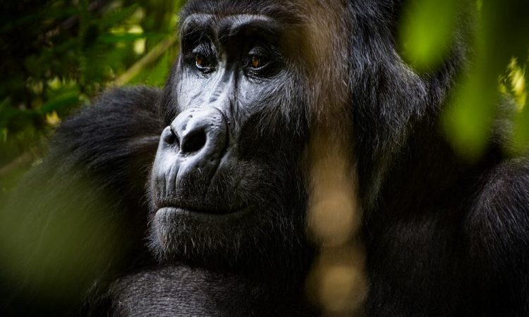 Is Tipping Allowed on a Gorilla Safari?