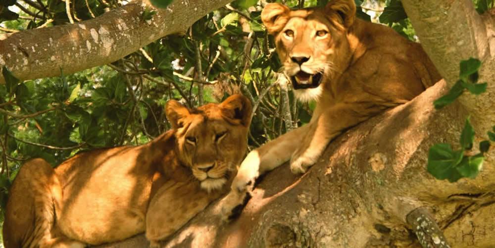 6 Days Queen Elizabeth, Bwindi gorillas and Lake Mburo safari