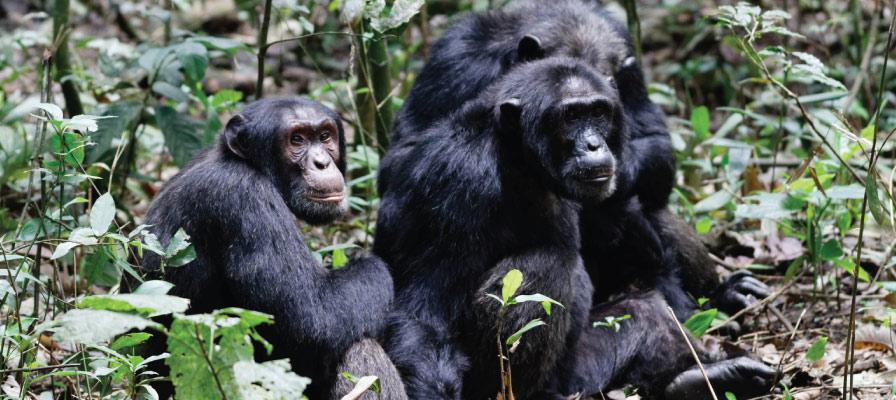 11 Days Uganda Safari-Gorilla Trekking, Chimpanzee Trekking and Wildlife