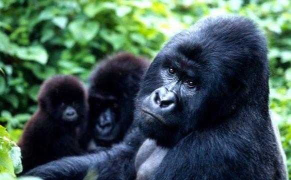 Budget Gorilla Trekking in Uganda