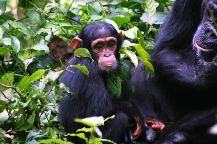 5 Days Uganda gorilla and chimpanzee habituation experience