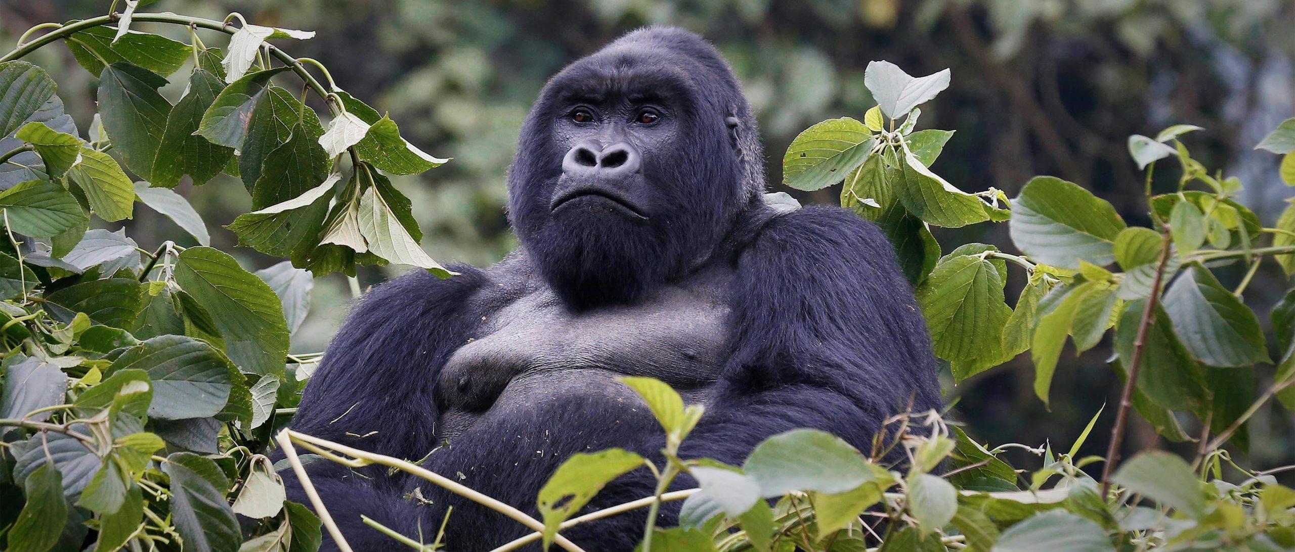 Best place for gorilla trekking in Uganda