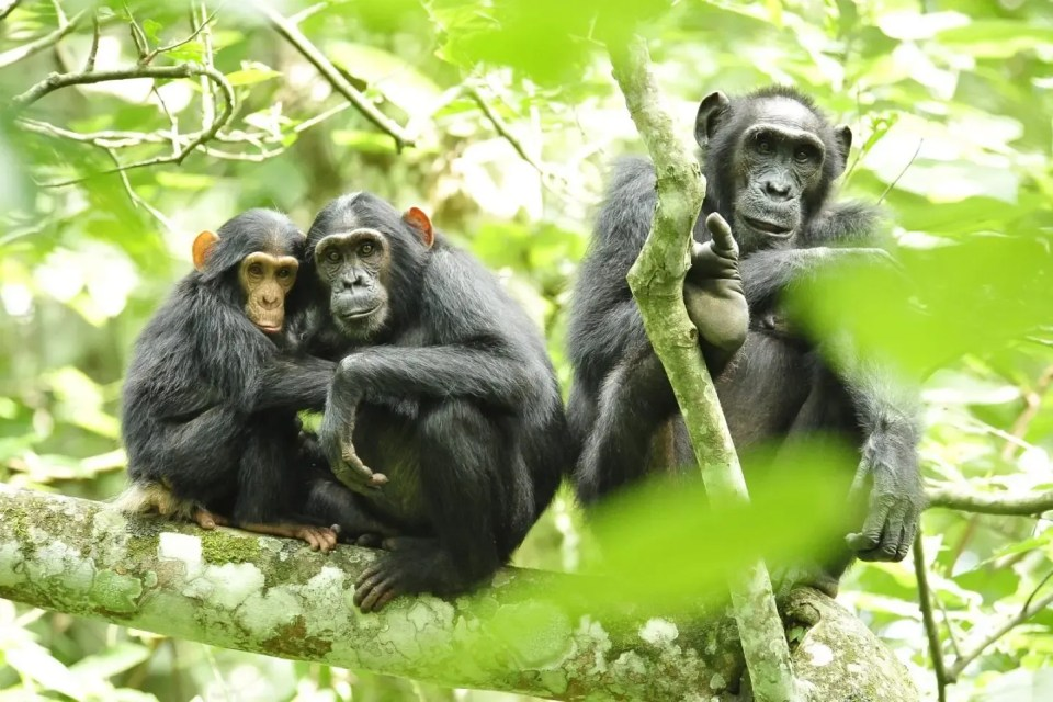 Chimpanzee habituation experience in Kibale forest national park